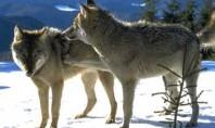 Pactando entre lobos