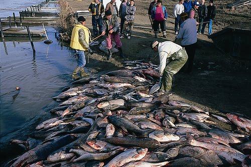 Peixes mortos tralo desastre de Baia Mare