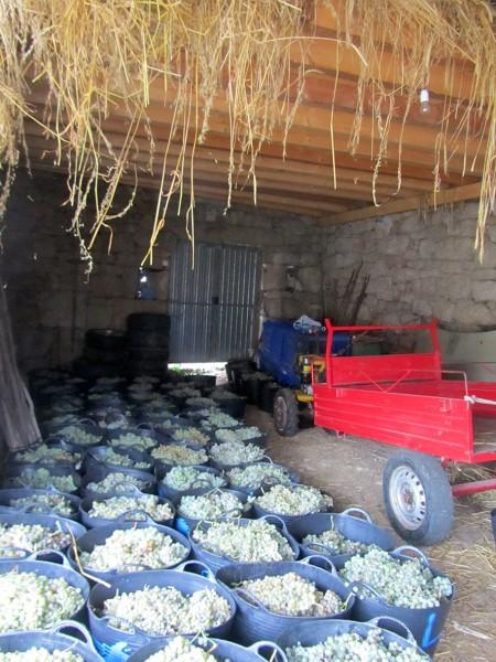 Uvas a punto de ser devoradas por La Cooperativa. @ Margarita González