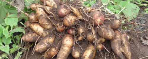 """Abel Lage, produtor agrícola: """"O cultivo da batata supón unha menor contaminación que o da patata"""""""