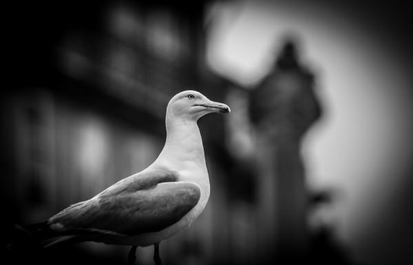 La gaviota se ha alzado como la raza dominante del cielo gallego. ¿Animal de costa? Más quisieran las palomas.