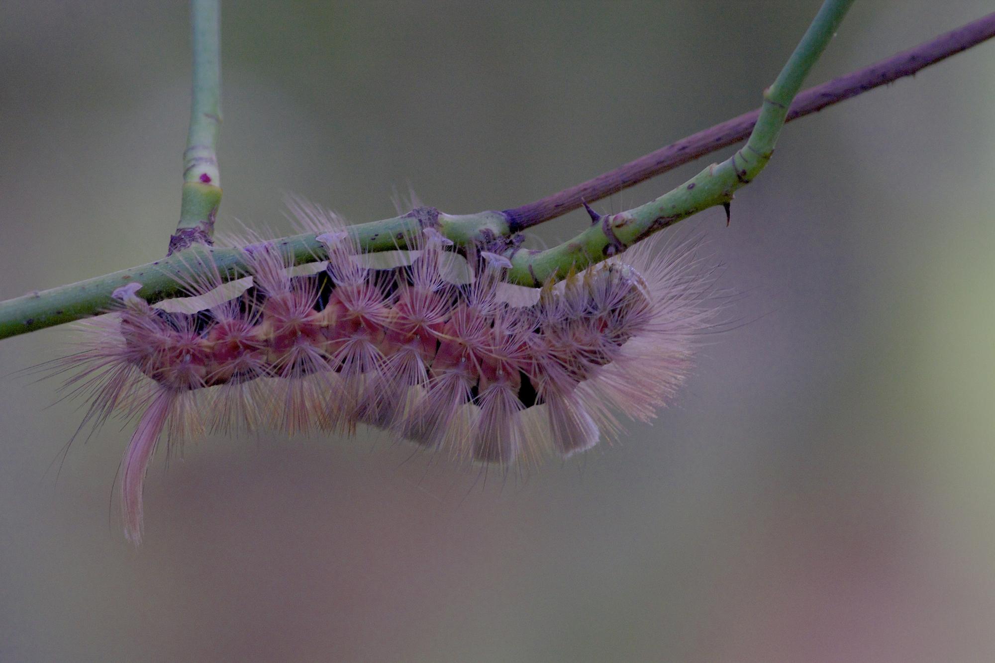 © Andrea Espiñeira No se vosotros, pero yo pocas veces he visto una oruga rosa y peluda.